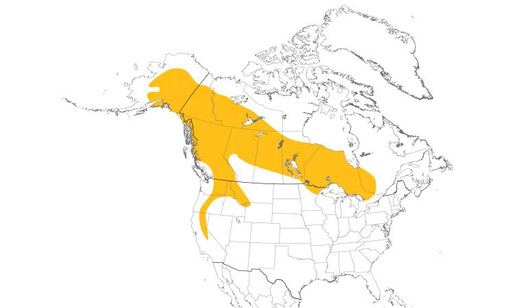 Dendroica Canada - Great Gray Owl - Strix nebulosa