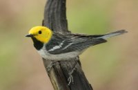 Photo: Hermit Warbler