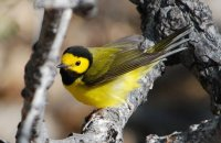 Photo: Hooded Warbler