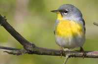 Photo: Northern Parula