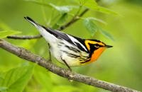 Photo: Blackburnian Warbler