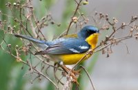 Photo: Tropical Parula