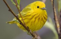 Photo: Yellow Warbler