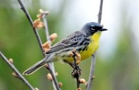 Photo: Kirtland's Warbler