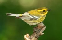 Photo: Townsend's Warbler