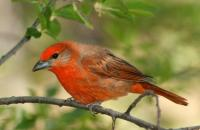 Photo: Hepatic Tanager