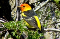 Photo: Western Tanager