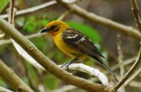 Photo: Flame-colored Tanager