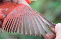 Photo: Summer Tanager