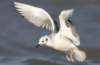 Photo: Bonaparte's Gull