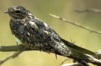 Photo: Lesser Nighthawk