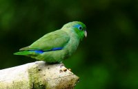 Photo: Spectacled Parrotlet
